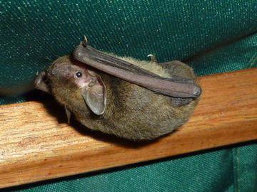 台灣蝙蝠, 新型麗沙病毒, 狂犬病,瘋狗症, 麗沙病毒
